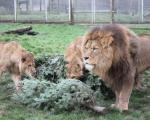 a pride of lions standing astride cut down christmas trees
